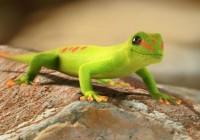 Como deshacerse eficazmente de los Geckos